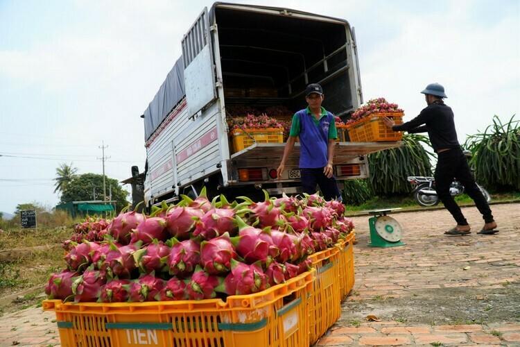 4 tấn thanh long của ông Lê Quang Cẩm bán với giá 4.000 đồng một ký, lỗ 11 triệu. Ảnh: Việt Quốc