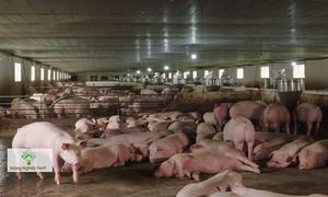 Đàn lợn sạch 9.000 con tại Bạc Liêu