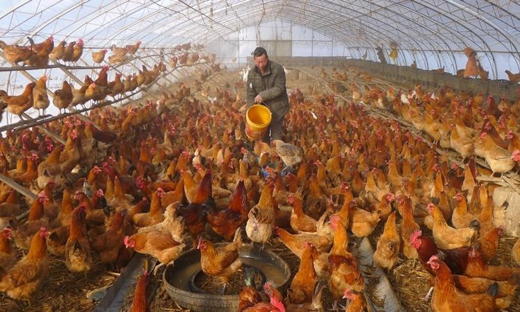 Một trang trại nuôi gà ở Hắc Hà, tỉnh Hắc Long Giang, Trung Quốc, hồi tháng 11 năm ngoái. Ảnh: Reuters.