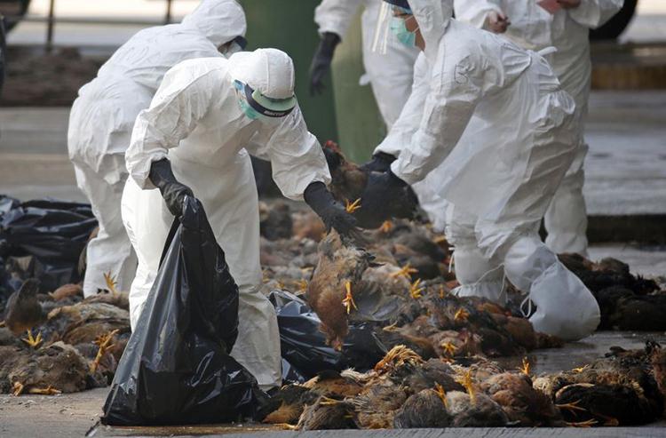 Các nhân viên y tế thu nhặt những con gà chết khi dịch cúm gia cầm bùng phát tại Hong Kong năm 2014. Ảnh: AP