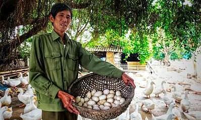 Lão nông 30 năm gắn bó với nghề nuôi vịt