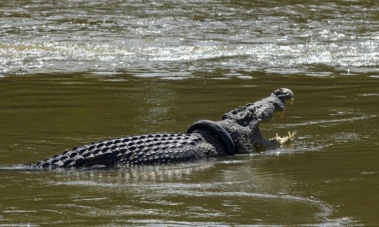Con cá sấu bị mắc lốp xe máy ở cổ trên sông Palu, tỉnh Central Sulawesi, Indonesia hồi tháng 12/2019. Ảnh: Antara.