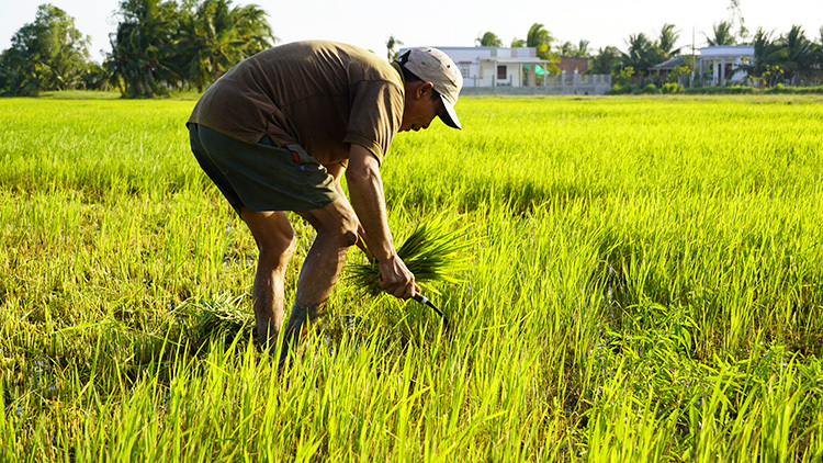 Ông Nguyễn Văn Lân cắt lúa bị nhiễm mặn cho bò, dê ăn. Ảnh: Hoàng Nam