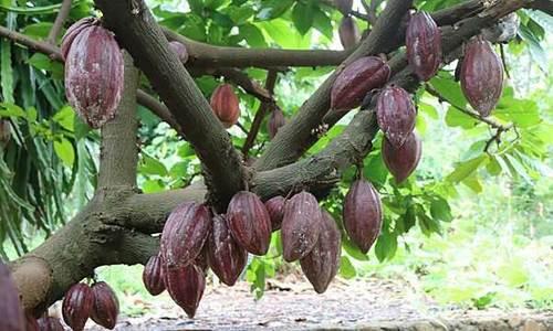 Xây dựng thương hiệu cacao Vũng Tàu