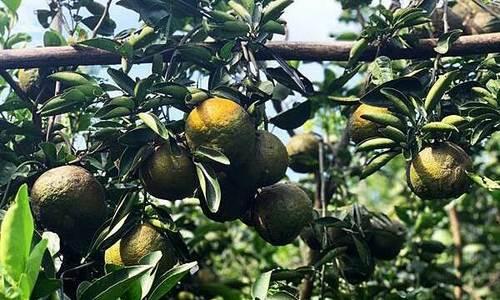 Mô hình trồng cam hữu cơ