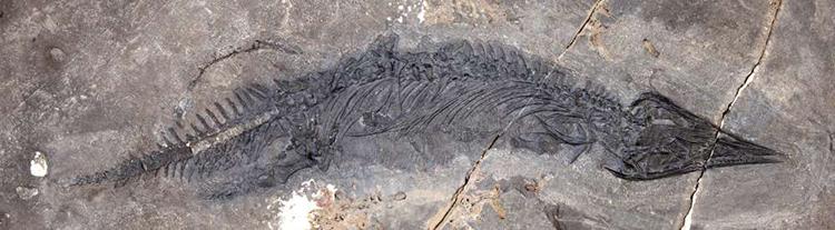 Hóa thạch G. joseeae được phát hiện trên quần đảo Keku, Alaska. Ảnh: IFL Science.