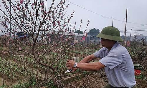 Chủ vườn Nhật Tân 'tái sinh' đào sau Tết