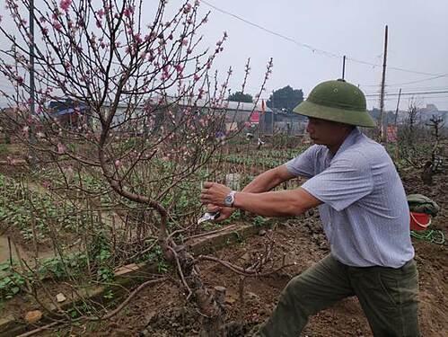 Các chủ vườn Nhật Tân tái sinh đào sau Tết  - 1