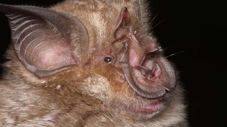 Phân loài dơi Rhinolophus được phát hiện có 500 loại virus corona. Ảnh:Phys.