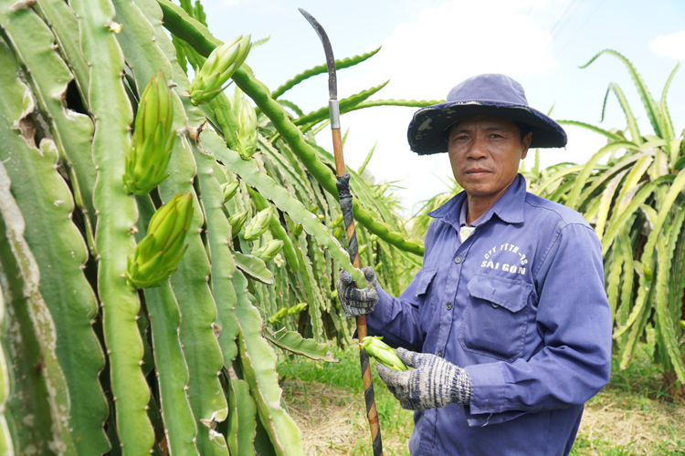 Ông Nguyễn Văn Hòa, xã Mương Mán, huyện Hàm Thuận Nam (Bình Thuận) ngắt bớt búp để giảm chi phí đầu tư trong bối cảnh thị trường bấp bênh do dịch nCoV, đầu tháng 2 năm 2012. Ảnh: Việt Quốc.