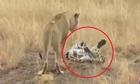 Báo hoa mai dùng khổ nhục kế thoát khỏi nanh vuốt đàn sư tử