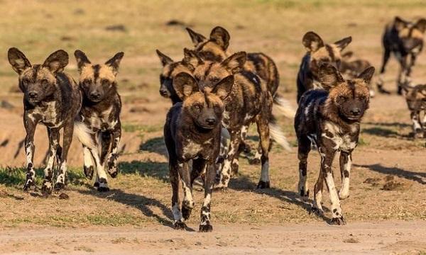 Đàn chó hoang gây náo loạn trong công viên safari ở Anh. Ảnh: Mirror.