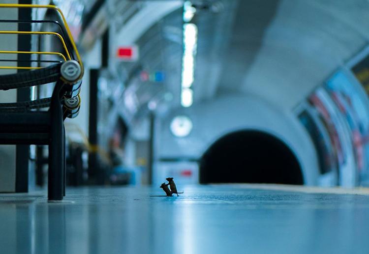 Khoảnh khắc đôi chuột đánh nhau giành miếng ăn dưới ga tàu điện ngầm London. Ảnh: Sam Rowlry.