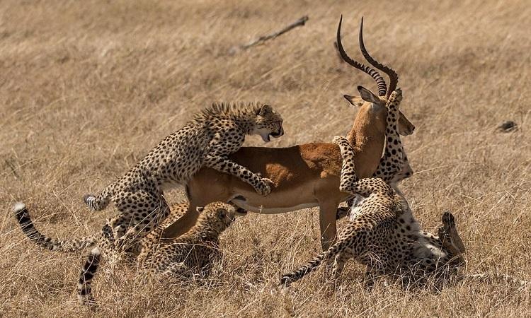 Những con báo săn non giúp mẹ bắt mồi. Ảnh: Kevin Rooney.