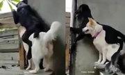 Chó trèo hẳn lên người của bạn để hóng chuyện nhà hàng xóm