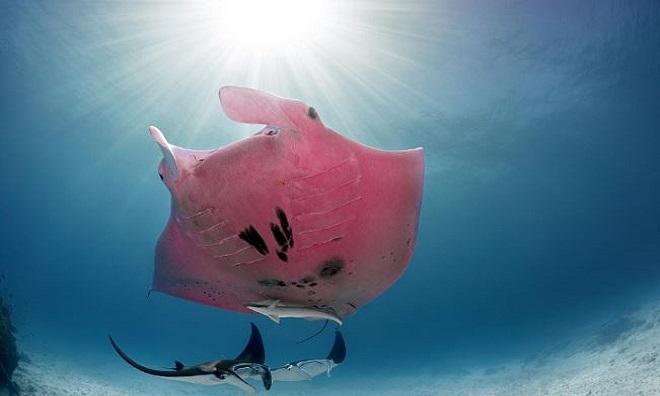 Inspector Clouseau bơi lượn cùng những con cá đuối bình thường. Ảnh: National Geographic.