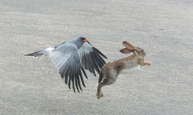 Con thỏ giãy thoát khỏi vuốt chim ưng. Ảnh: African Geographic.