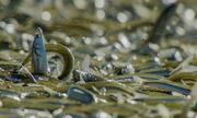 Cá grunion chen nhau trườn lên bãi biển đẻ trứng