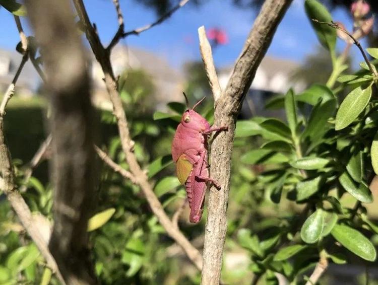 Hội chứng erythrism là nguyên nhân khiến cơ thể châu chấu có màu hồng. Ảnh: Allison Barger.