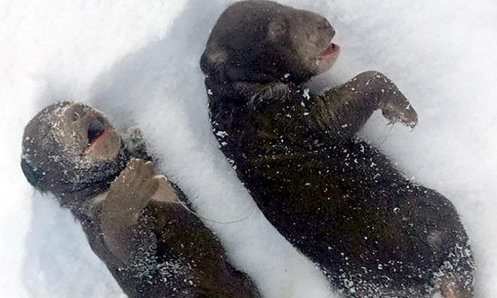 Xác gấu con đông cứng trong thời tiết lạnh sau khi gấu mẹ rời hang. Ảnh: Siberian Times.