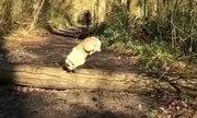 Chú chó ngã đau khi học đòi theo bạn nhảy qua cây