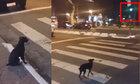 Chú chó sang đường theo tín hiệu đèn giao thông