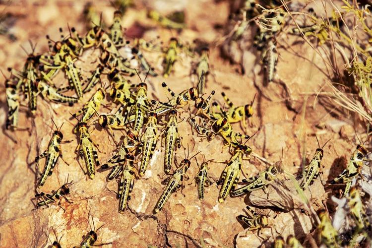 Nấm thây ma xanh sẽ tác động mạnh và tiêu diệt nhiều châu chấu non đang sinh sôi nảy nở ở Somalia. Ảnh: AP