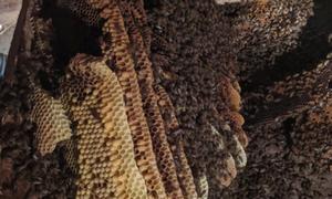Tổ ong mật 150.000 con dưới sàn nhà