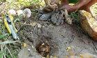 Bắt trọn hang ếch bằng mít và trứng vịt