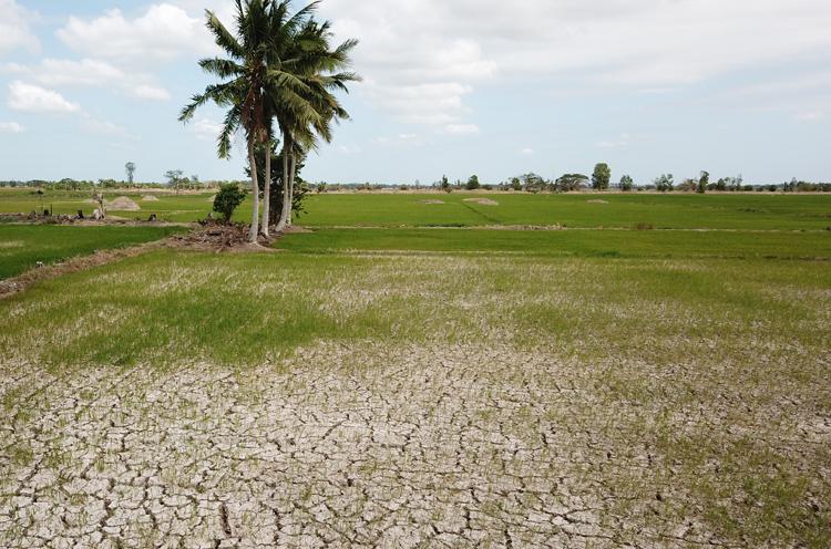 Đồng lúa ở Sóc Trăng nứt nẻ sau 45 ngày không có nước ngọt tưới. Ảnh: Cửu Long.