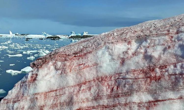 Tảo Chlamydomonas nivalis khiến một phần băng tuyết Nam Cực chuyển đỏ. Ảnh: Bộ Khoa học và Giáo dục Ukraine.