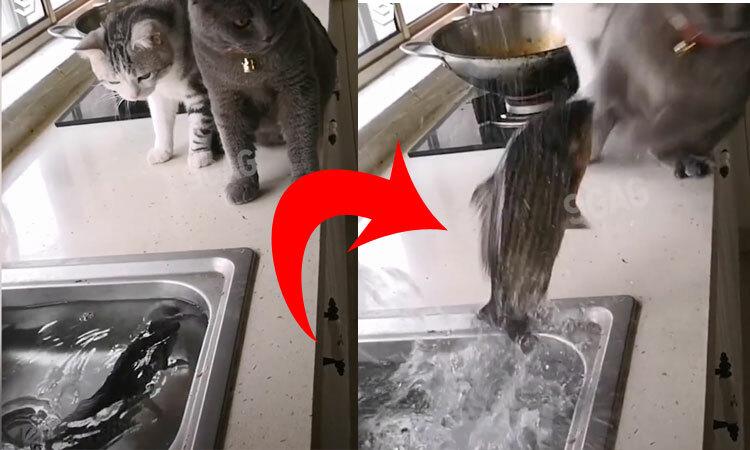 Cá nhảy ra khỏi nước dọa mèo