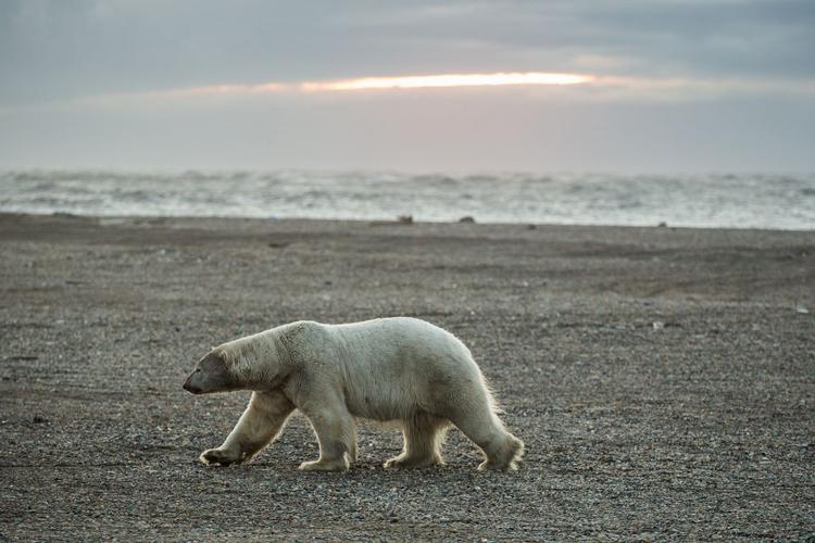 Gấu Bắc cực là cảnh tượng thường thấy tại làng Kaktovik, bang Alaska. Ảnh: ADN.