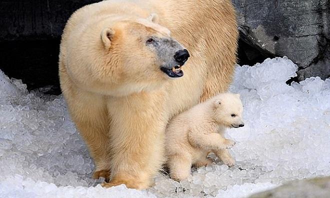 Gấu Bắc Cực có thể ăn thịt con non vì khan hiếm thức ăn. Ảnh: AFP.