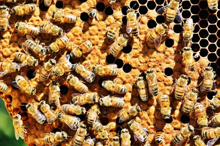 Số lượng các đàn ong đang giảm dần do biến đổi khí hậu và mất nguồn thức ăn. Ảnh: Beyond Pesticides