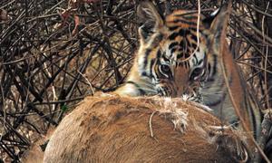 Hổ mẹ đoạt mạng hươu nhanh như chớp