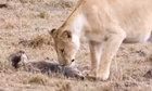 Chó sói giả chết đánh lừa sư tử