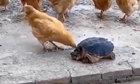 Gà trả giá vì trêu chọc rùa