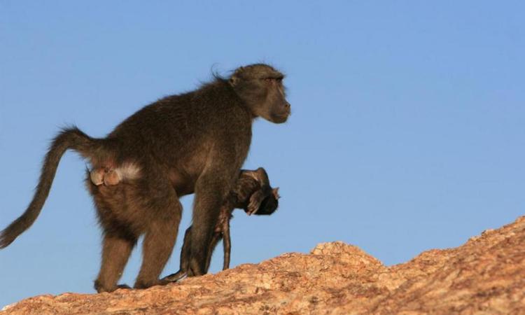 Khỉ đầu chó chacma ôm xác con non trên sa mạc Namib. Ảnh: Fox News.