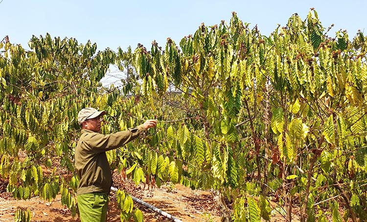 Hàng trăm ha cà phê ở Lâm Đồng khô héo do nắng hạn. Ảnh: Hoài Thanh.