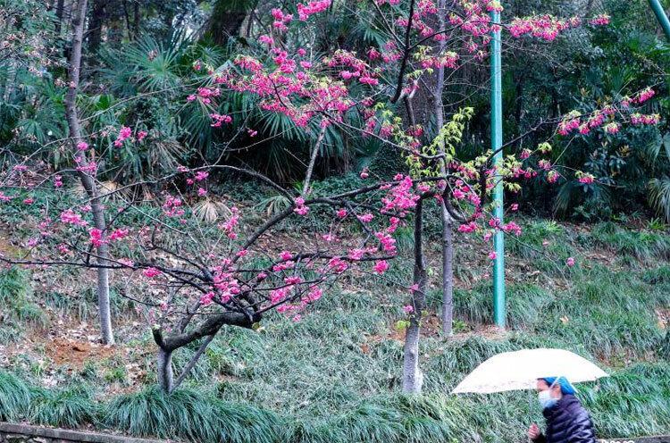 Hoa đào nở tại Đại học Vũ Hán, tỉnh Hồ Bắc, Trung Quốc ngày 4/3. Ảnh: China News Service/ Zhang Chang.