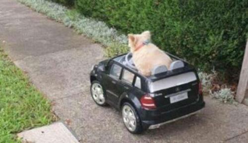 Hình ảnh cún cưng lái siêu xe phóng trên lề đường.