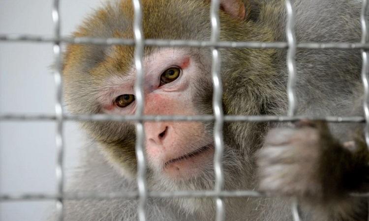 Khỉ vàng mắc Covid-19 trong thí nghiệm. Ảnh: AFP.