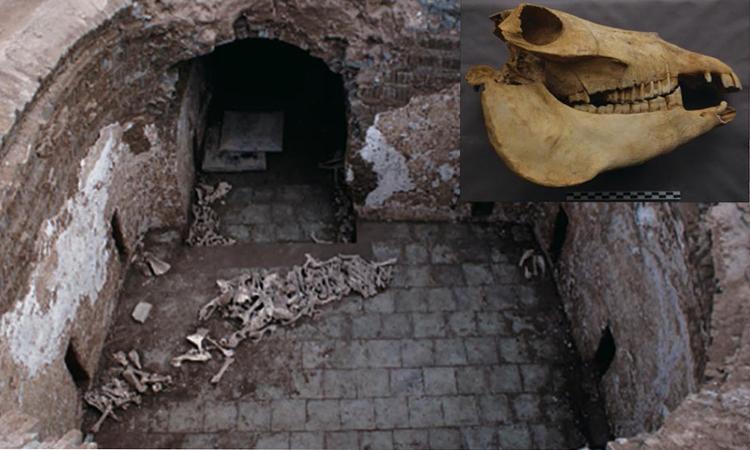 Xương và hộp sọ lừa (ảnh góc trên bên trái) trong lăng mộ Cui Shi. Ảnh: Ancient Origins.
