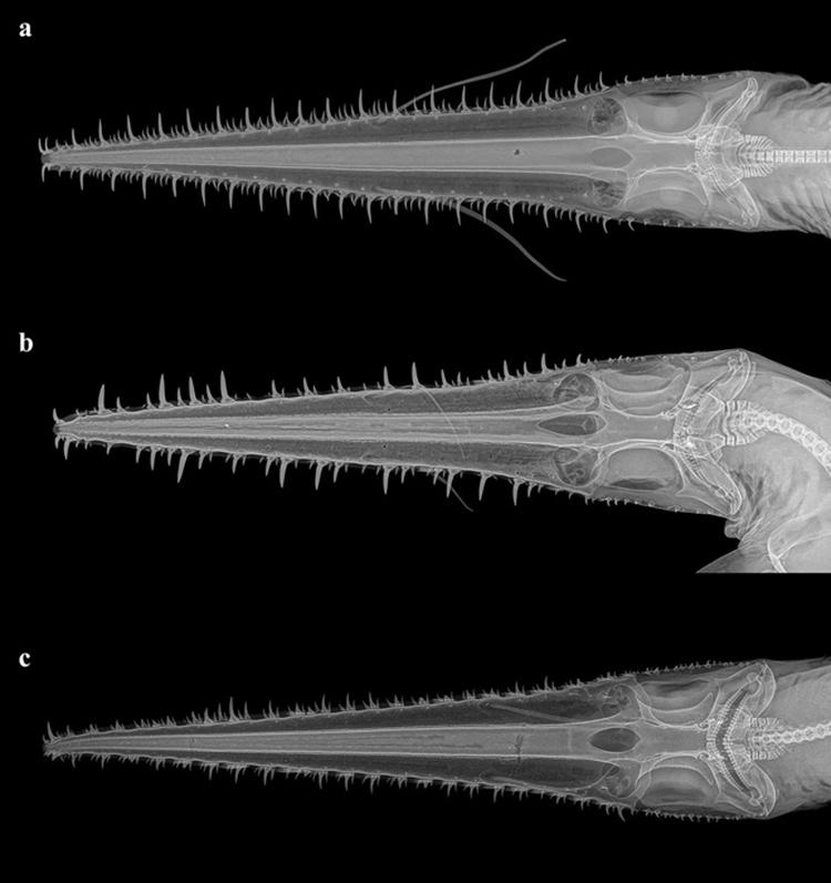 Ảnh chụp X-quang cho thấy sự khác biệt giữaP. kajae (a), P. annae (b) và P. warreni (c). Ảnh: CNET.