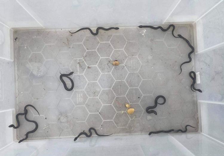 Bầy rắn hổ con khỏe mạnh. Ảnh: UPI.