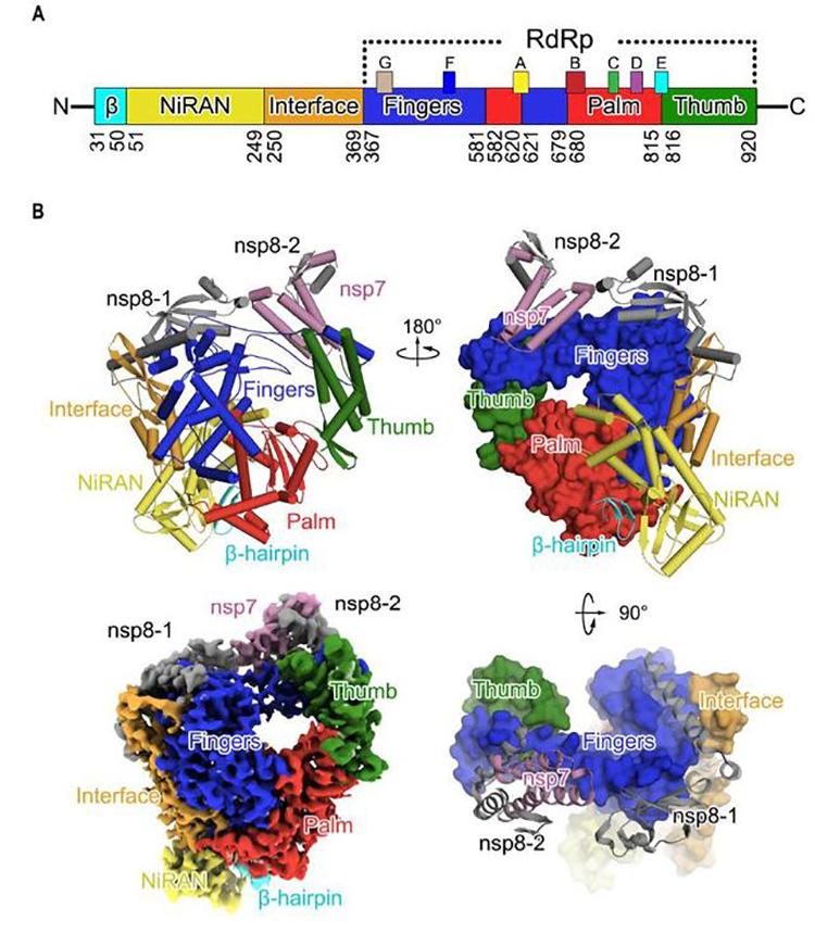 Cấu trúc liên kết ba miền chính của RNA polymerase ở nCoV. Ảnh: Sina.