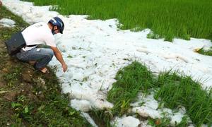 Mưa đá phủ trắng ruộng lúa