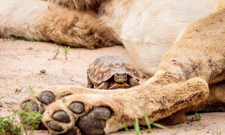 Rùa bản lề chậm rãi bò qua chân sư tử. Ảnh: Caters.