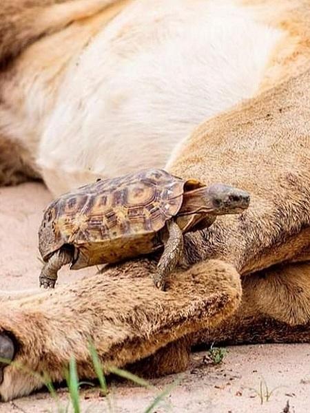 Con rùa gặp may vì sư tử không phát hiện ra nó. Ảnh: Caters.